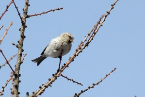 887-02-2013 Hoary Redpoll 01-27-2013 Center1