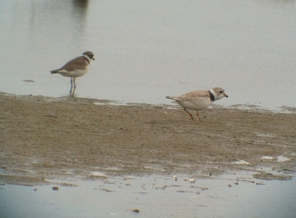 261-03-2013 piping plover 6-10-13_with_SEPL