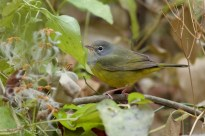 MacGillivray's Warbler Tom Johnson 1
