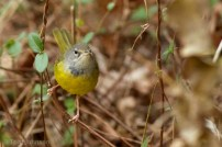 MacGillivray's Warbler Tom Johnson 3