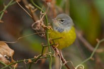 MacGillivray's Warbler Tom Johnson 5