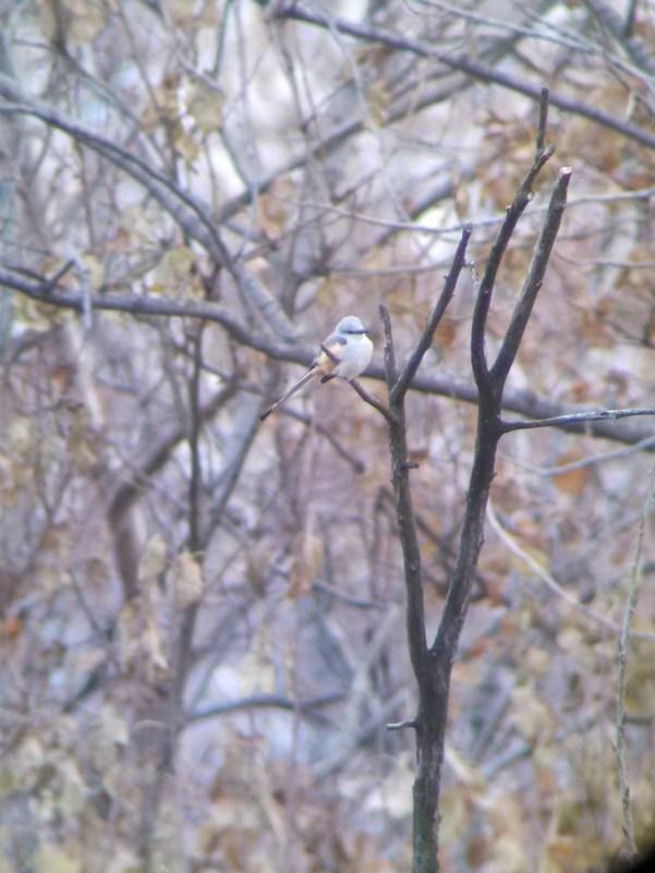 Scissor-tailed Flycatcher 11-16-2013 Phil