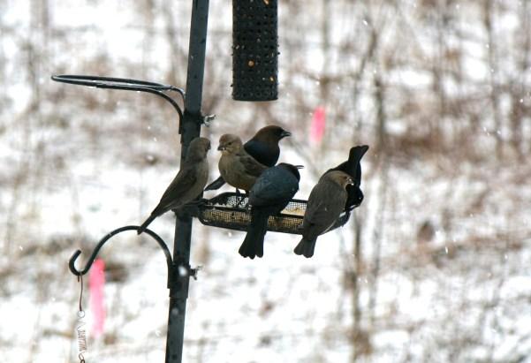Shiny Cowbird 6-2-2013 Adams 5