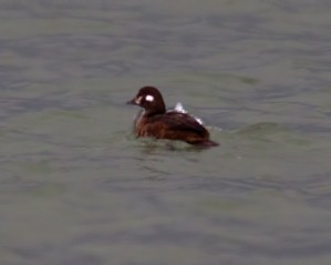 harlequin duck 12-5-2013 Erie