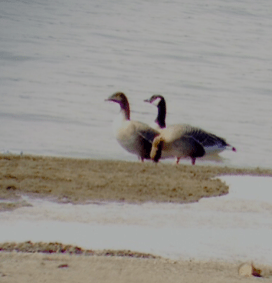Pink-footed Goose 3-21-2014 Center 1