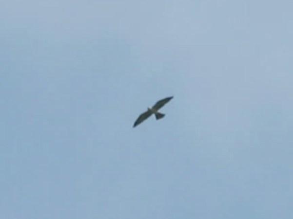 Mississippi Kite 5-10-2014 Montgomery