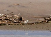 4a. SNPL 1 Jul 2014, Gull Point, Presque Isle S.P., Pa., J. McWilliams