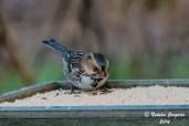 Harris Sparrow_11-23-2014_-25