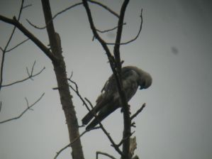 Mississippi Kite (2) Hatfield, Montgomery Co., PA 6-13-14