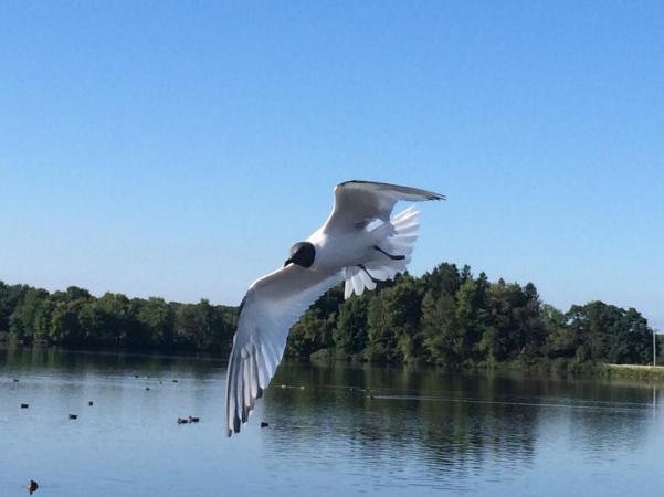 sabine gull