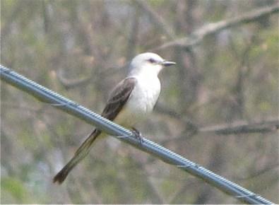 scissor-tailed flycatcher 5-12-2014 -1