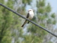 scissor-tailed flycatcher 5-12-2014 -2