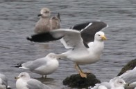 KelpGull_DuckHollow_20150118_JeffCohen1