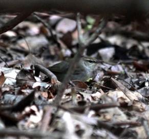 Swainson's Warbler Bear Swamp
