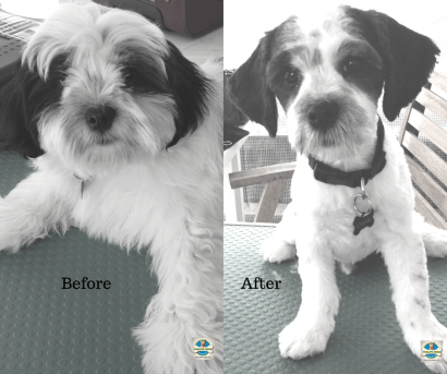 Rotorua dog groomer Pablo
