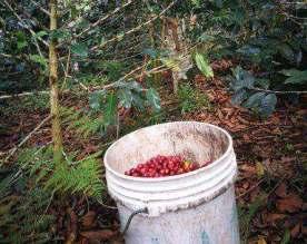 Monteverde picking