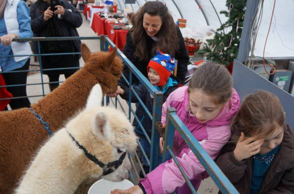 Christmas with alpacas