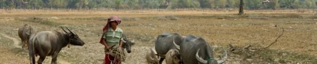A man and his buffalos