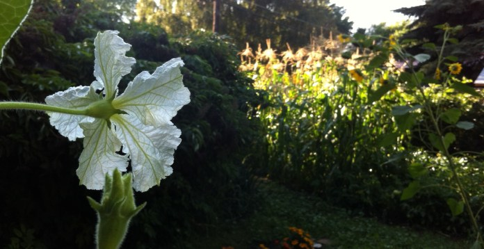 through Great Spirit's eyes - a gourd blossom's view of the garden