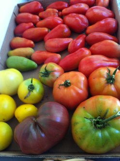 a few lovely tomatoes