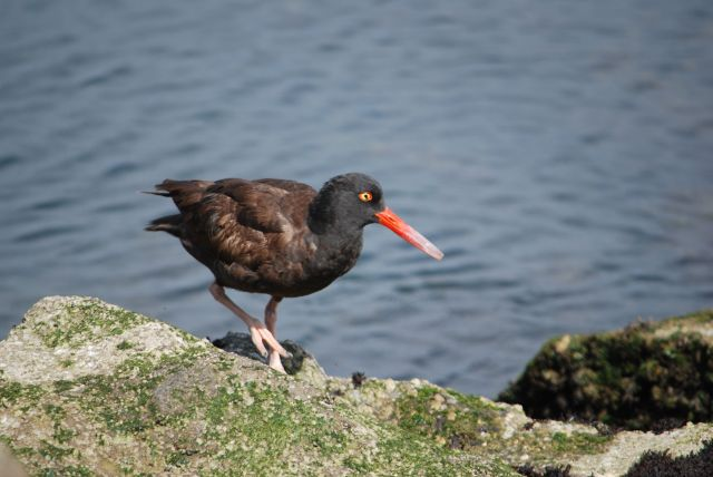 Black Oystercatcher     Photo by Sue Boardman