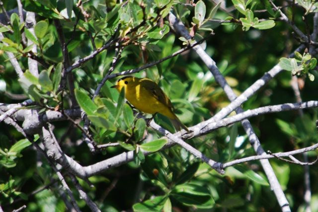 Wilson's Warbler in the thicket  Photo by Sue Boardman
