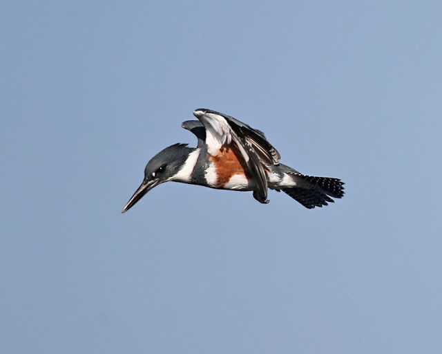 Female Belted Kingfisher  Photo by Cleve Nash