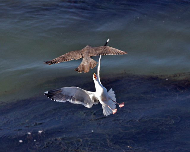 Gull bashing!      Photo by Cleve Nash