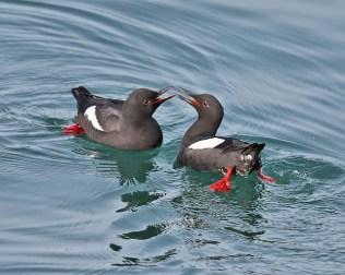 Sea birds, Pigeon Guillemot