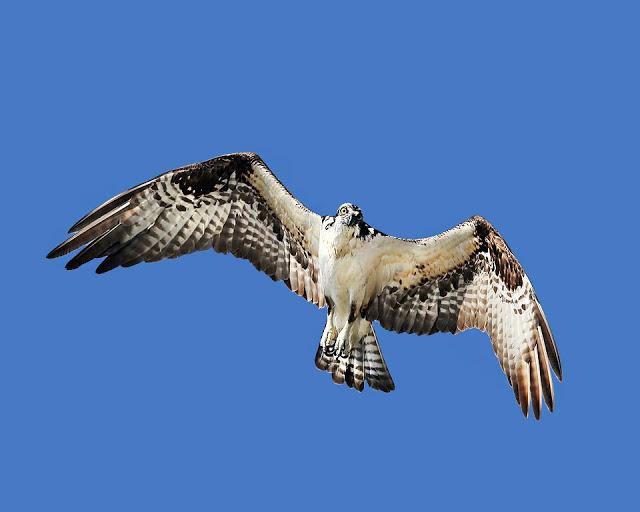 Morro Rock, CA, osprey