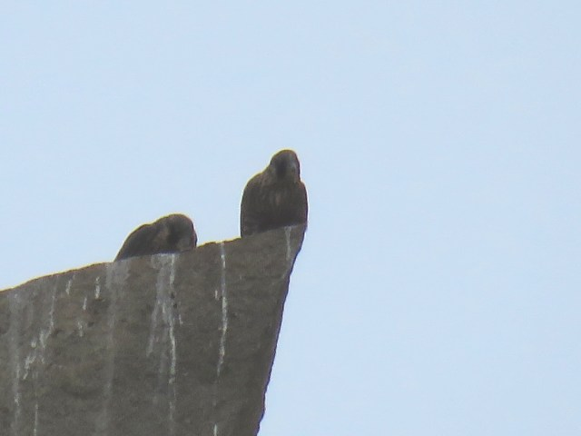 Juveniles peregrine falcons on first flight