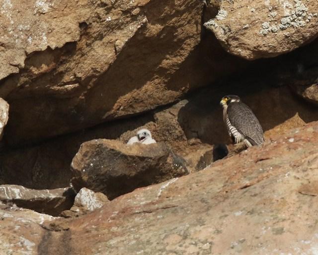 peregrine falcon chick, Morro Rock, Morro Bay, California