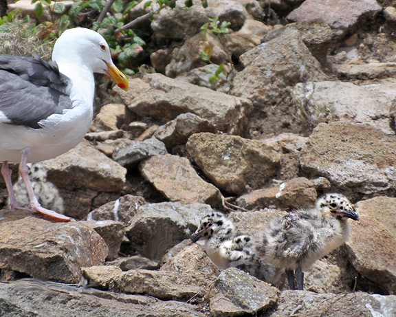 Western Gull with 2 chicks