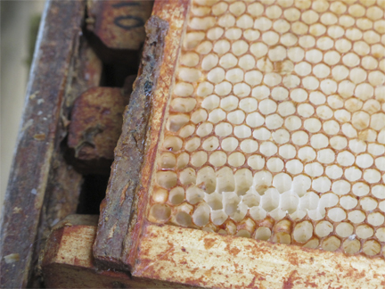 Propolis Thick on a Bee hive foundation frame