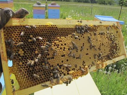 Honeybee Brood