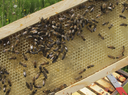Honeybees on drawn bee hive foundation