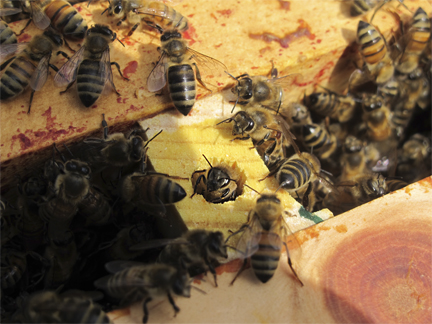 Worker bees and empty queen box