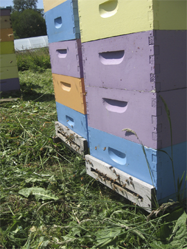 Honeybees fly from hives
