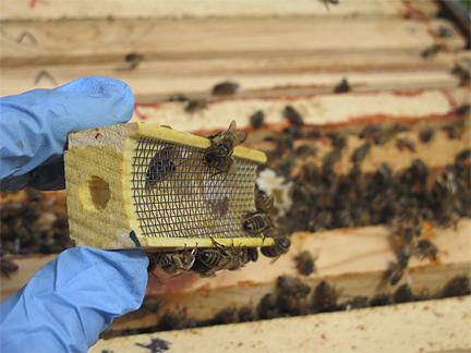 Queen honey bee transportation box after queen release