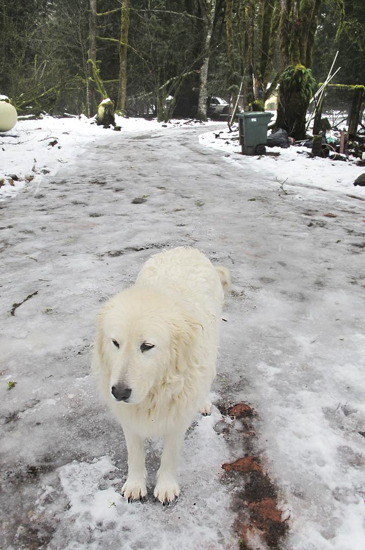 Livestock Guard Dog seeks hockey team