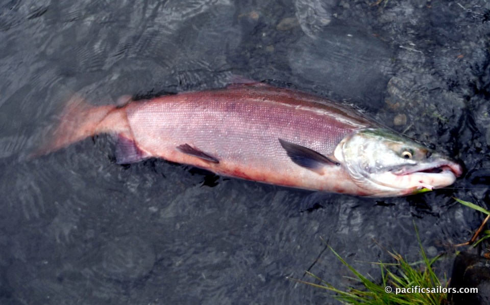 Kenai River Sockeye (red) salmon