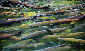 In addition to cold ocean water and an ample food supply at sea, salmon require cold river water that drains all the way to the sea, and, during their early life, a delta habitat.