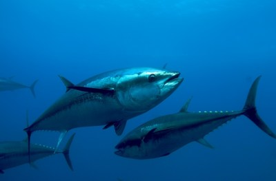 Highlights from the World Tuna Conference, Vigo