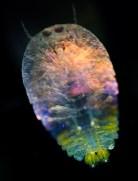 8-Organisme marin20_┬®C.Sardet-CNRS-Tara Expeditions_Expedition Tara Oceans