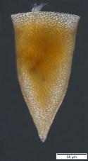Cyttarocyliscassismorphotypetara70-John-Dolan