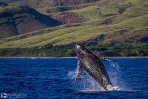 Whale_breach_by_Lyle_Krannichfeld