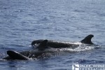 Adult and calf false killer whales. Photographed under NOAA permit # 16479.