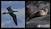 Australasian gannet and Australian fur seal.