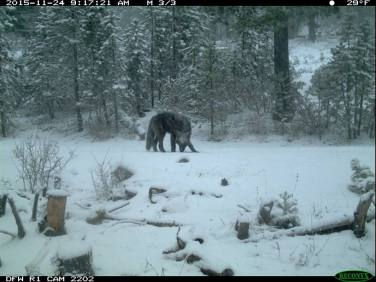 Shasta Pack wolf, November 2015. Photo courtesy of CDFW.