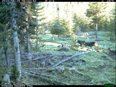 Imnaha Pack adult wolves, June 15, 2010. Photo courtesy of ODFW.